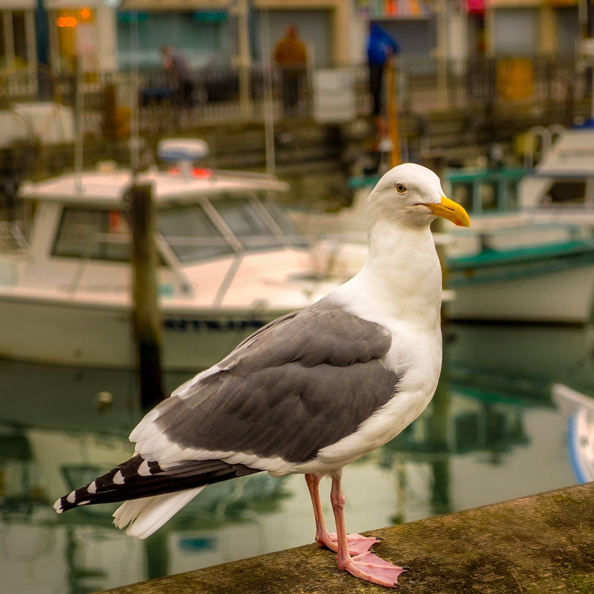 Alice the Wharf Seagull, by Ken Douglas